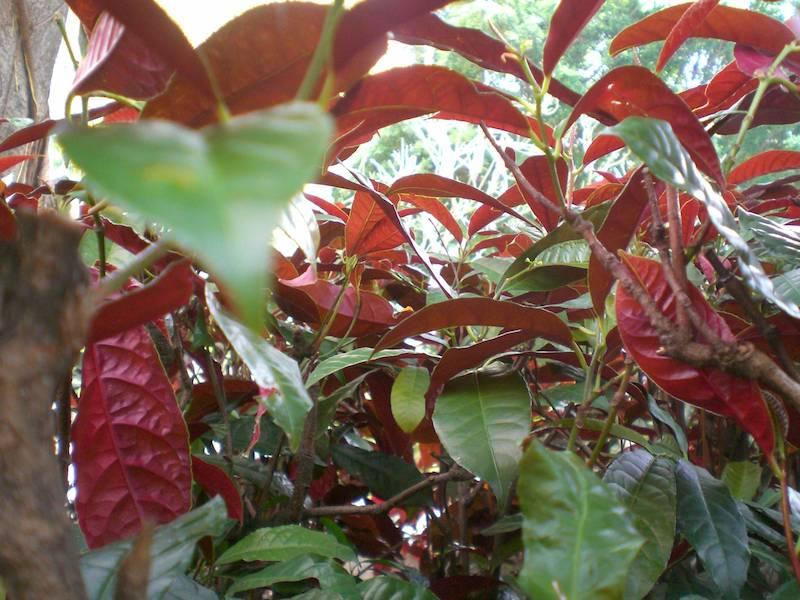 Hình ảnh cây đơn lá đỏ (cây đơn mặt trời)
