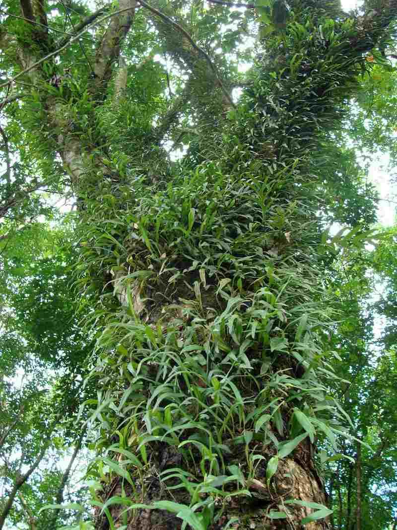 Tầm gửi là loại cây sống ký sinh vào các loài cây thân gỗ