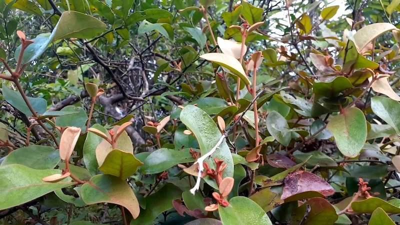 Tầm gửi ký sinh trên cây chanh