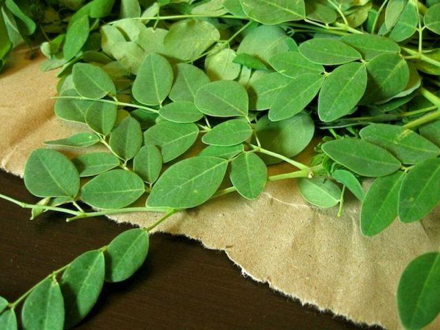 Tất cả các bộ phận của cây chùm ngây đều được dùng làm thuốc chữa bệnh