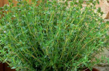 Cây cỏ xạ hương