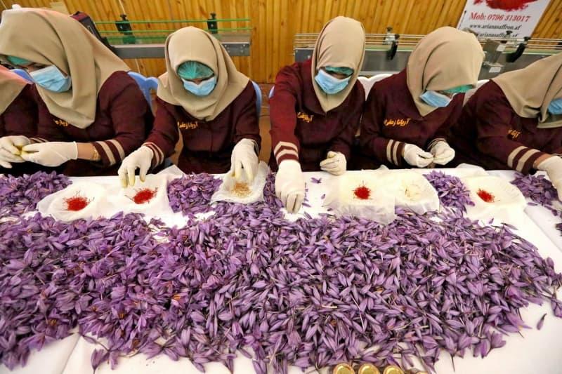 Quá trình phân loại saffron rất tỉ mỉ, cần nhiều nhân công kéo theo chi phí đội lên
