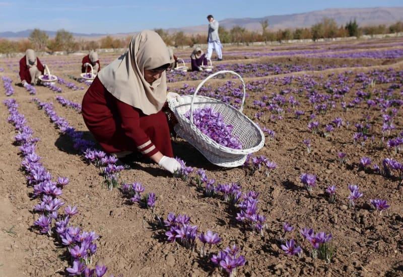 Từ việc trồng và thu hoạch nhuỵ hoa nghệ tây đều diễn ra thủ công bằng tay