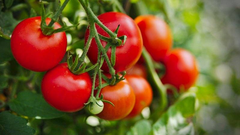Khi mổ sỏi thận cần hạn chế ăn cà chua
