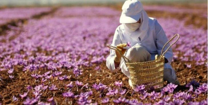 Nhụy hoa nghệ tây Dubai giá bao nhiêu 1g? Có đắt không?