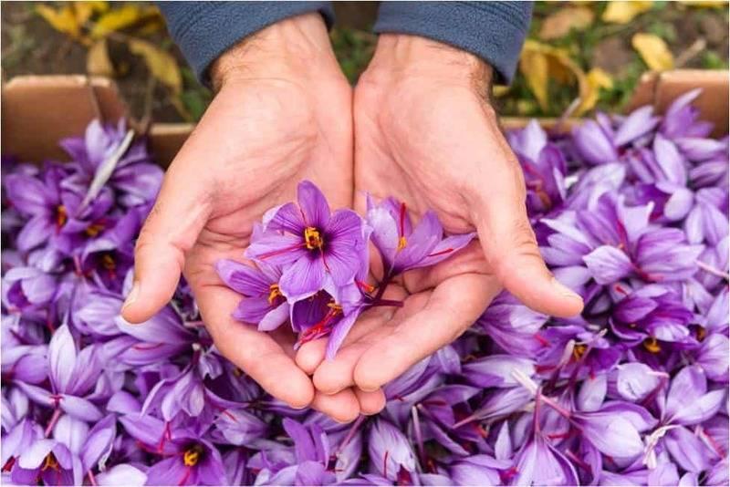Iran là một trong những nước có sản lượng nhụy hoa nghệ tây lớn nhất thế giới
