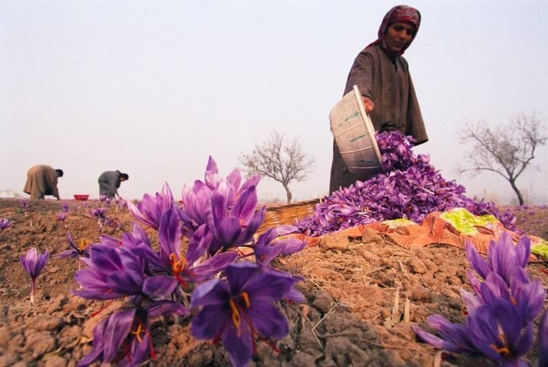Nhụy hoa nghệ tây Maroc được đánh giá cao bởi yếu tố chất lượng