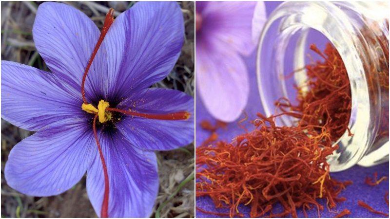 Serum nhụy hoa nghệ tây giúp da tươi sáng, khỏe mạnh từ sâu bên trong