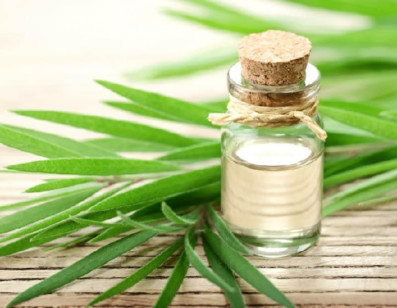 Tinh dầu cây trà là thành phần không thể thiếu trong các kem trị sẹo thảo dược