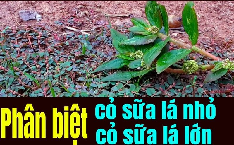Có 2 loại cỏ sữa là loại lá nhỏ và lá lớn
