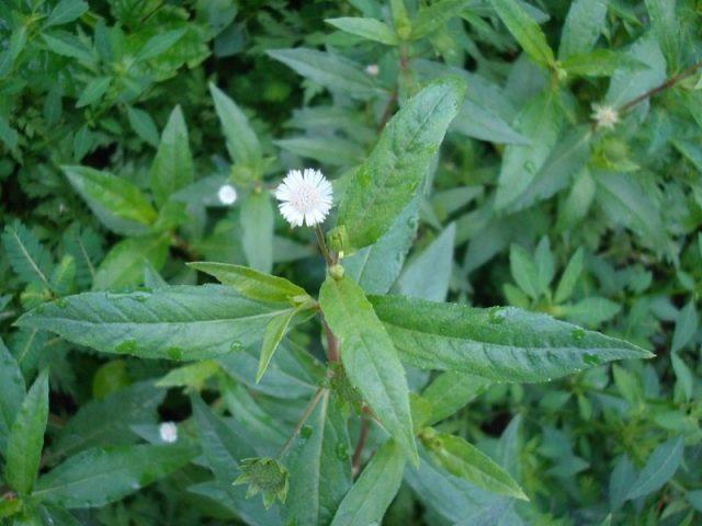 Cây nhọ nồi là thực vật thuộc họ nhà cúc