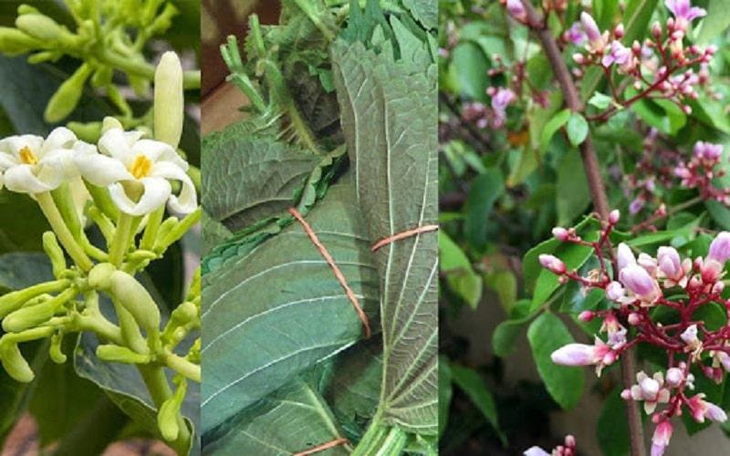 Hoa đu đủ, hoa khế và lá tía tô có thể kết hợp với nhau để thuyên giảm triệu chứng ho