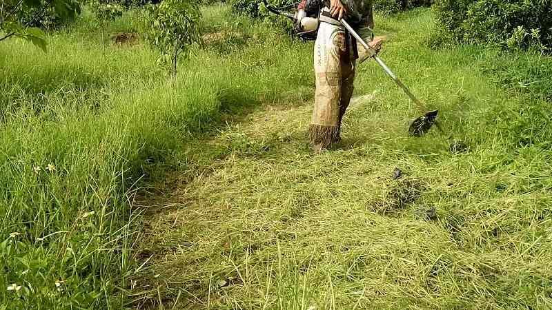 Đây là loại cây rất dễ sinh trưởng, chủ yếu mọc ở các vùng bãi hoang, bờ ruộng hoặc ven đường.