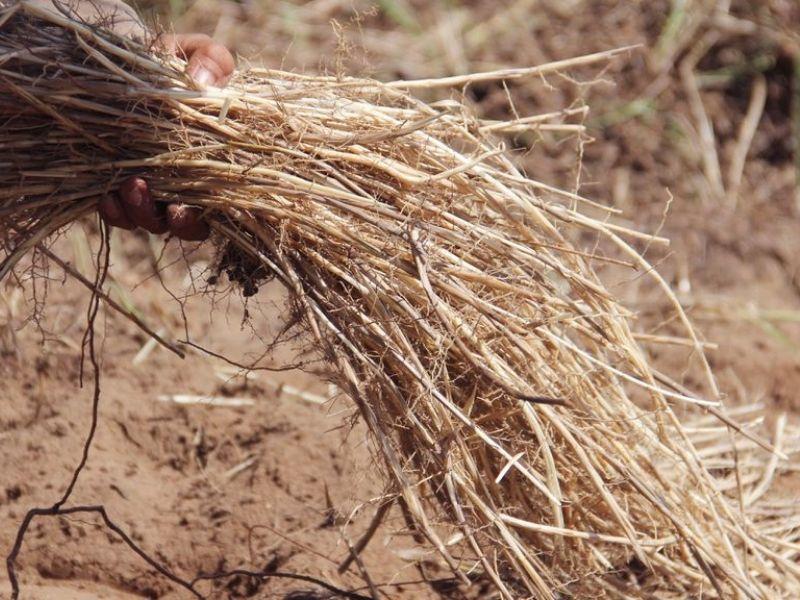 Rễ cỏ tranh dùng phổ biến trong các bài thuốc chữa bệnh về đường tiết niệu