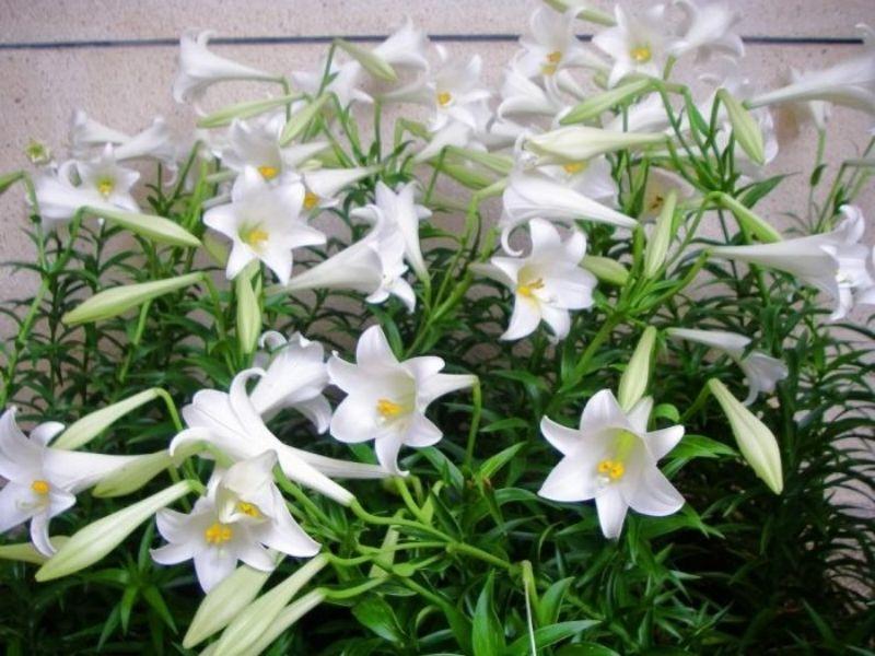 Hình ảnh cây hoa bách hợp ngoài thiên nhiên