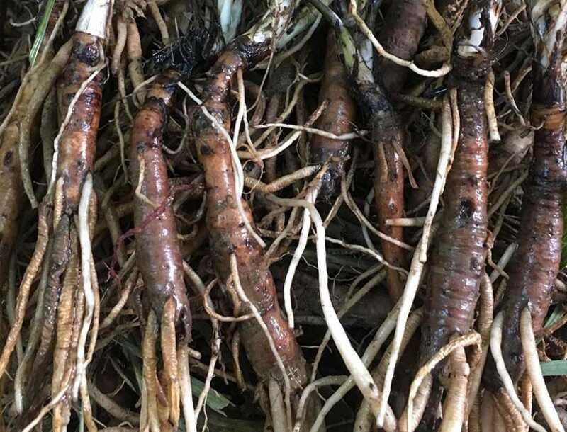 Sâm cau rừng được thu hoạch vào các mùa trong năm