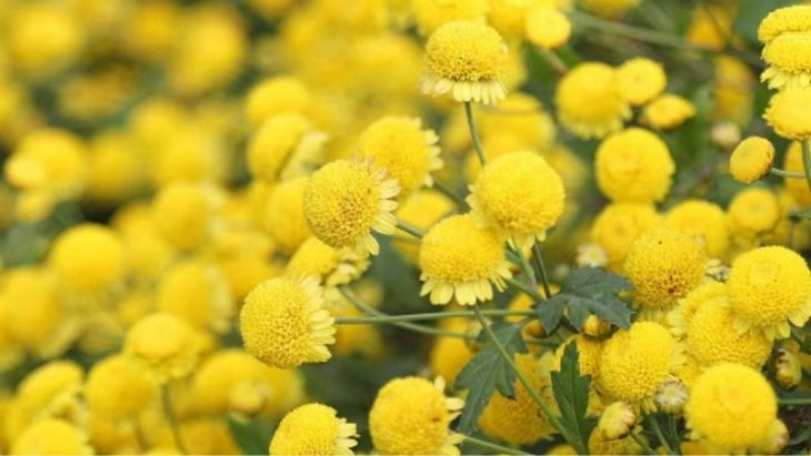 các thông tin về cúc hoa