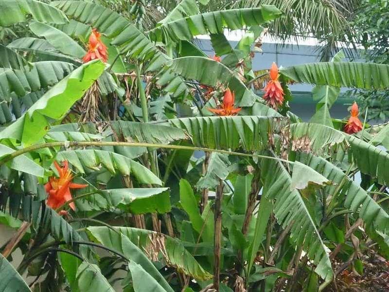 Cây chuối hột rừng có chiều cao khoảng 3 - 4m.
