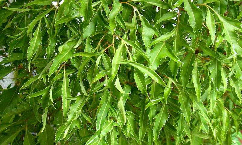 Dùng lá đinh lăng có thể giảm tình trạng sưng, đau nhức do tràn dịch khớp