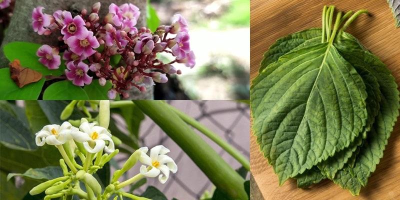 Lá tía tô kết hợp hoa đu đủ và hoa khế chữa ho hiệu quả