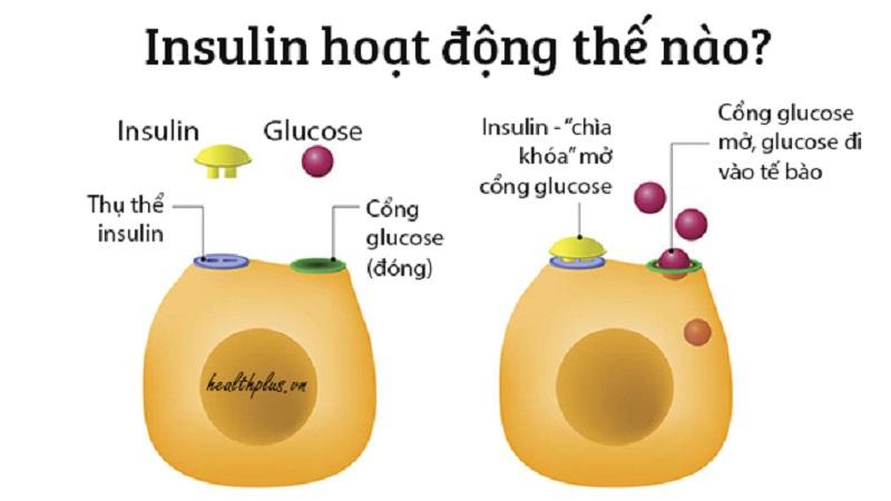Insulin là loại hormone quan trọng được tiết ra từ tuyến tụy