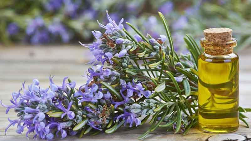 Cây hương thảo có nhiều tác dụng trị liệu, nhất là với chứng nhức đầu