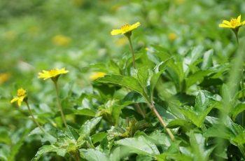 Hoạt chất trong cây sài đất có tác dụng làm giảm ngứa trên da