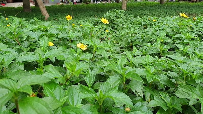 Người bệnh có thể đắp thuốc cây sài đất chữa viêm da cơ địa
