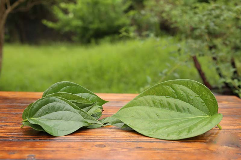 Lá trầu không là bài thuốc dân gian được sử dụng phổ biến cho các bệnh viêm nhiễm