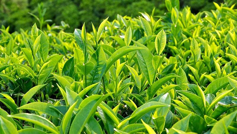 Lá trà xanh có tác dụng kháng khuẩn, chữa bệnh vàng da