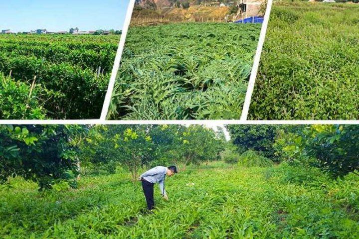 Quân dân 102 sở hữu vườn dược liệu đạt chuẩn GACP - WHO