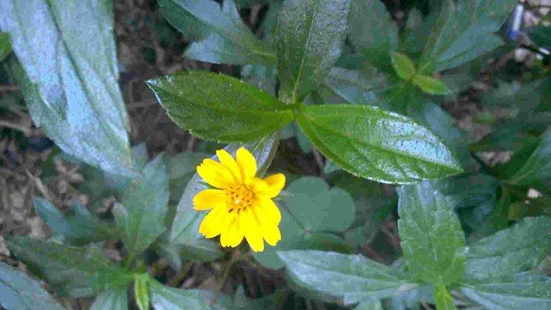 Sài đất có tên tiếng Anh Wedelia Chinensis(Osbeck) Merr
