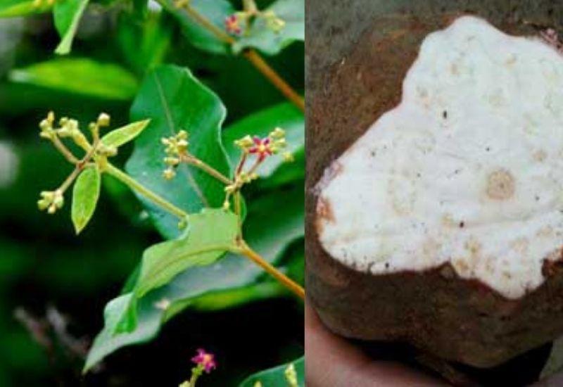 Loại cây này rất dễ nhận biết và nhìn thấy trong tự nhiên