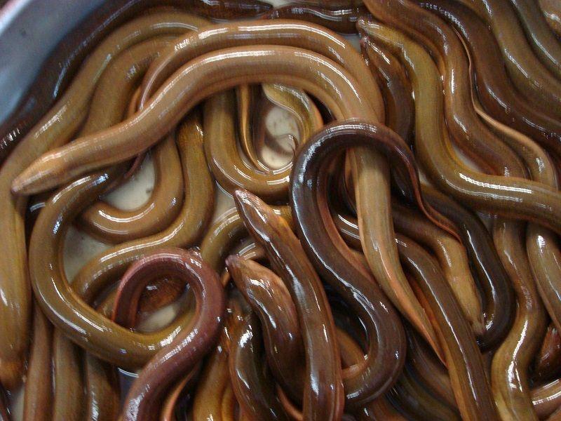 Mẹ có thể chế biến lươn thành bài thuốc để chữa ho