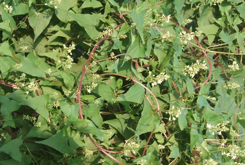Nước sắc lá tươi có thể dùng để điều trị các bệnh về da liễu rất tốt