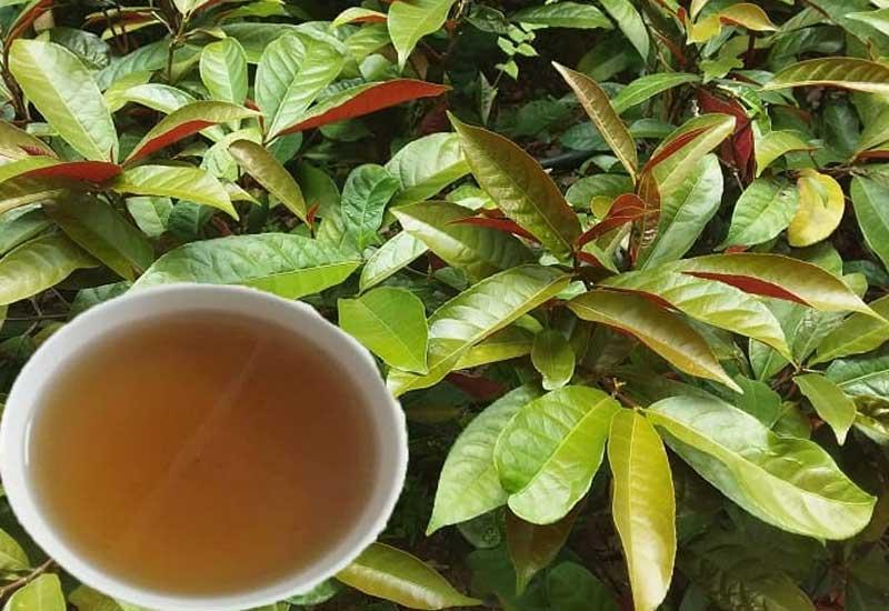 Uống nước cây đơn lá đỏ giúp trị mề đay rất tốt