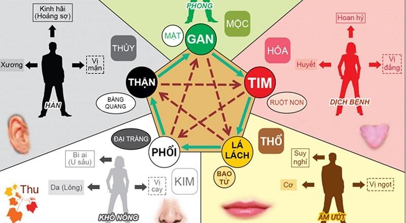Lục phủ ngũ tạng trong Đông y gắn với thuyết ngũ hành được phân chia cụ thể