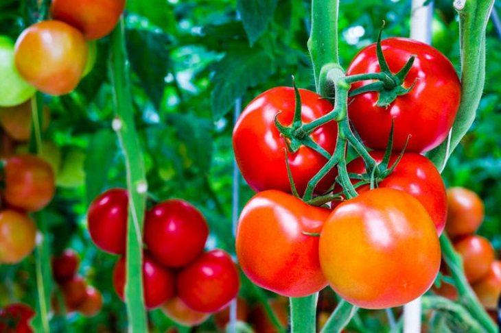 Cà chua có tác dụng rất tốt trong việc làm mờ sẹo, giúp dưỡng ẩm và tăng độ đàn hồi cho da